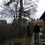 Topkapning af gammelt fyrtræ.